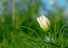 Fleur de bourgeonnement de cosmos images stock