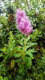 Fleur de bourgeonnement rose magnifique dans le sauvage images libres de droits