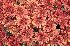 Fleur de Bourgogne Image libre de droits