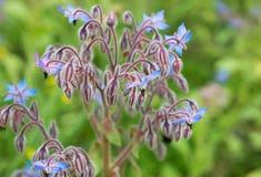 Fleur de bourrache Photos libres de droits
