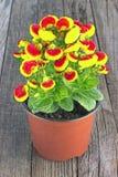 Fleur de bourse du ` s de Madame de calcéolaire - famille de Calceolariaceae Photographie stock libre de droits