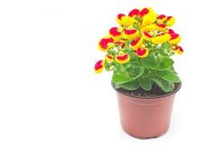 Fleur de bourse du ` s de Madame de calcéolaire - isola de famille de Calceolariaceae Photos stock