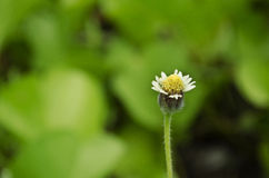 Fleur de boutons de manteau Image libre de droits