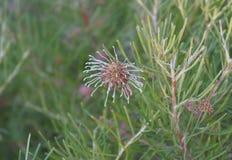 Fleur de brachystachya de Grevillea Photographie stock