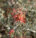 Fleur de brachystachya de Grevillea Image stock