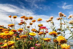 Fleur de bracteatum de Helichrysum Photos libres de droits