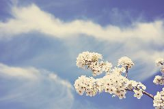 Fleur de Bradford Pear avec le fond de ciel bleu photos stock