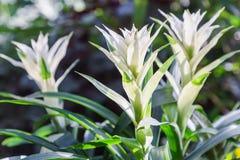 Fleur de bromélia dans la diverse couleur dans le jardin pour la décoration de beauté de carte postale et la conception de l'avan Photos libres de droits