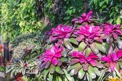 Fleur de bromélia dans la diverse couleur dans le jardin pour la décoration de beauté de carte postale et la conception de l'avan Photo stock