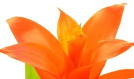 Fleur de Bromelia Images stock