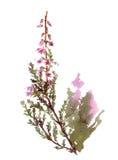 Fleur de bruyère d'aquarelle illustration de vecteur