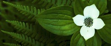 Fleur de Bunchberry Photographie stock libre de droits