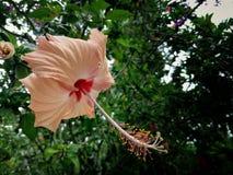 Fleur de Bunga Raya Image stock