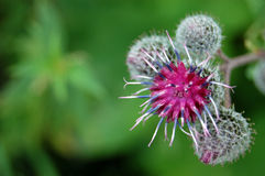 Fleur de Burdock Image stock