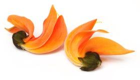 Fleur de Butea Monosperma ou de Palash image stock