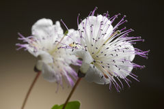 Fleur de câpre Images libres de droits