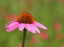 Fleur de cône photo libre de droits