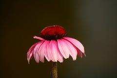 Fleur de cône Photographie stock