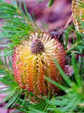 Fleur de cône de Banksia Photos stock