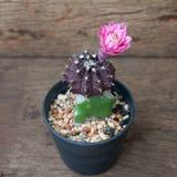 Fleur de cactus, cactus à la plante en pot sur le fond en bois Photo stock