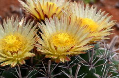 Fleur de cactus Photographie stock libre de droits