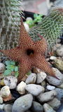 Fleur de cactus Photographie stock