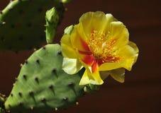 Fleur de cactus Image stock