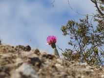 Fleur de cactus de Beavertail photographie stock