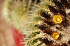 Fleur de cactus de baril Images stock