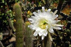 Fleur de cactus de cierge Images libres de droits