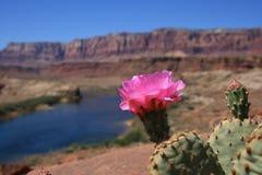 Fleur de cactus de désert Photos libres de droits