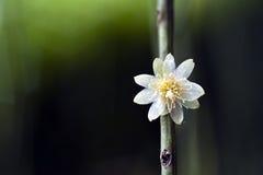 Fleur de cactus de gui, typique des arbres forestiers atlantiques Images stock