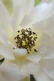 Fleur de cactus de Gymnocalycium Image stock