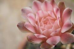 Fleur de cactus de Gymnocalycium Photographie stock