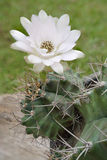 Fleur de cactus de Gymnocalycium Images stock