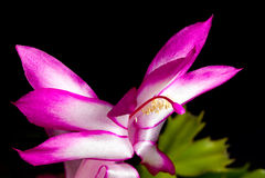 Fleur de cactus de Noël Photos libres de droits