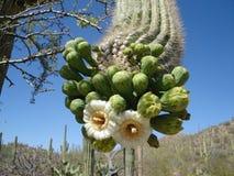 Fleur de cactus de Saguaro Images libres de droits