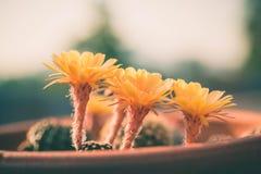 Fleur de cactus, Echinopsis Photo stock