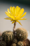 Fleur de cactus, Echinopsis Photographie stock libre de droits