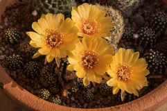 Fleur de cactus, Echinopsis Images libres de droits