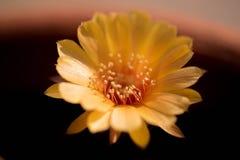 Fleur de cactus, Echinopsis Photos stock