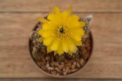 Fleur de cactus, Echinopsis Photographie stock