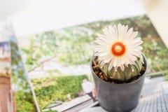 Fleur de cactus fleurissant admirablement Photos stock