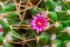 Fleur de cactus sur l'usine pointue d'épine dans le désert photographie stock