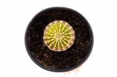 Fleur de cactus sur le fond blanc Images stock