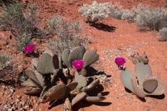 Fleur de cactus, vallée du feu, Nevada, Etats-Unis Photos stock