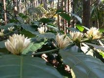 Fleur de café Photo libre de droits