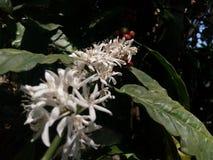 Fleur de café Photographie stock