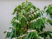 Fleur de café sur la fin blanche de fleur de couleur de fleur de caféier  Photo stock
