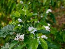 Fleur de café sur la fin blanche de fleur de couleur de fleur de caféier  Images stock
